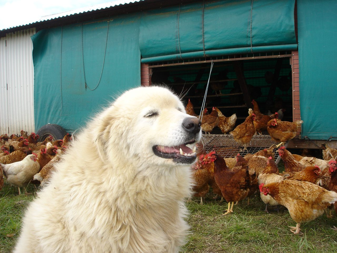 real oddball guarding chickens